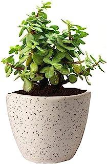 Guuchuu Good Luck Jade Plant In Round Ceramic Pot Air Purifier