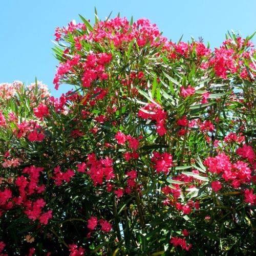 Nerium oleander HARDY ROSSO Semi di oleandro!