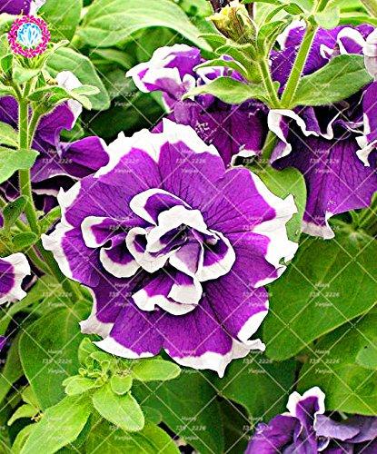 100pcs / Sac Hanging pétales de double Petunia Graines Bonsaï Graines de fleurs à court d'intérieur Plante en pot pour jardin 5