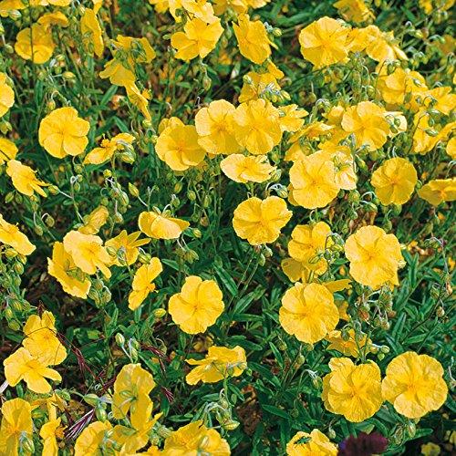 Kölle Sonnenröschen, 3er-Set, Helianthemum Hybride 'Golden Queen', gelb, Topf 9 cm