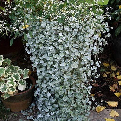 Beautytalk-Garten 50/100 Selten Silberregen Dichondra Silver Falls Ziergras Samen Hängepflanze Saatgut winterhart mehrjährig Zierpflanzen für Balkon/Garten