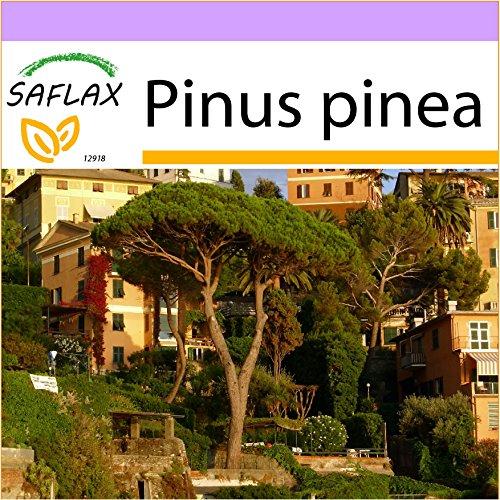SAFLAX - Mittelmeer - Pinie - 6 Samen - Pinus pinea
