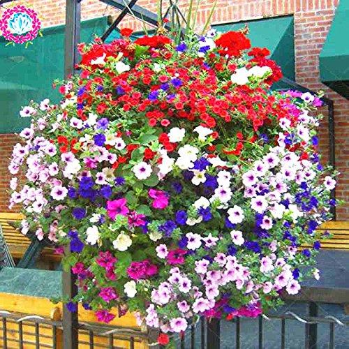 100 pcs/sac à double pétales graines de pétunia graines de fleurs bonsaï fleurs court jardin hauteur des graines de pot de plante d'intérieur ou ourdoor 13