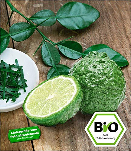 BALDUR Garten Bio-Kaffir-Limette 1 Pflanze Citrus Hystrix Kaffernlimette