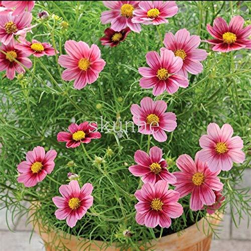 AGROBITS Bonsai printemps semant les tablettes de cosmos pour envoyer paysage de jardin de fleurs d'engrais mer fleurs vertes 100pcs (bo si ju): 3