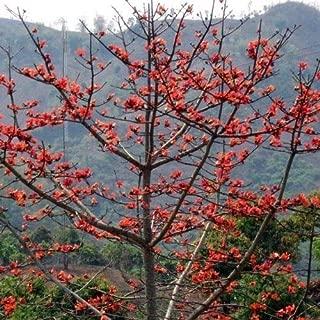 Red Silk Cotton Tree Seeds (Bombax ceiba) 25+Seeds