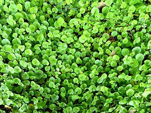 Home Comforts LAMINATED POSTER Indiase Pennywort Kruiden Centella Aziatische Pennywort Poster Print 61 x 91.5