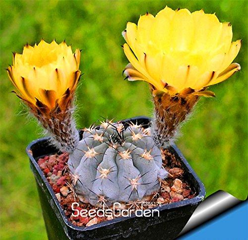 Big Sale! 10 pcs / lot billes graines de cactus rares graines de plantes succulentes Bonsai Celestial pot de fleurs jardinières Flores, # MY8ZLU