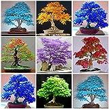 Seedeo ® rojo asignaturas arce Acer palmatum atropurpureum bonsai 20 semillas