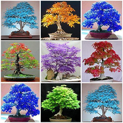 good01 30 Piezas De Semillas De Arce Perenne Japonés | Muy Fácil De Plantar Acer Palmatum Garden Bonsai Decor Azul claro Semillas de arce