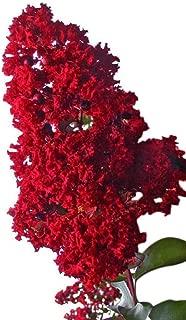 Victor Crape Myrtle Seeds UPC 600188196238 + 2 Free Plant Markers (400)