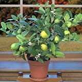 "BasqueStore - Key Lime Tree 6"" Pot Fruiting"