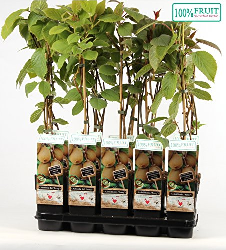 Kiwi Jenny 70 cm - Actinidia chinensis 'Jenny' - selbstfruchtend/selbstbefruchtend