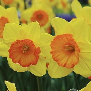 Burpee Smilling Maestro Daffodil | 10 Large Flowering Fall Bulbs for Planting, Yellow & Orange