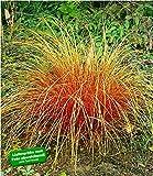 BALDUR-Garten Carex 'Bronze Reflection' Segge winterhart