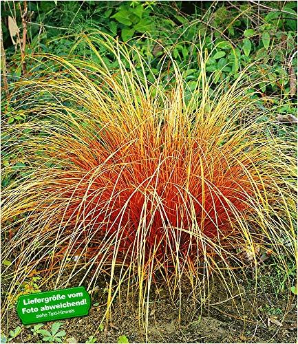 BALDUR Garten Carex \'Bronze Reflection\' Segge winterhart, 3 Pflanzen Ziergräser