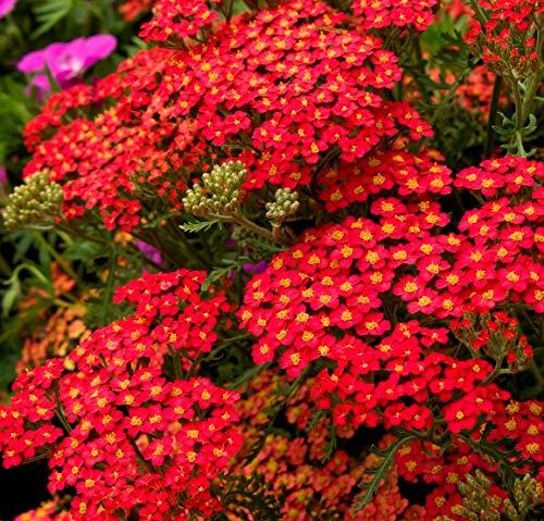 Red Yarrow Wildflower Seeds Grow Stunning Perennial Herb Homeopathy bin206 (600 Seeds, or 1/10 Gram)