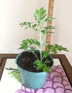 LIVE PLANT Organic MUGWORT / Artemisia Argyi / Silvery Wormwood Herb 艾草 Ngải cứu