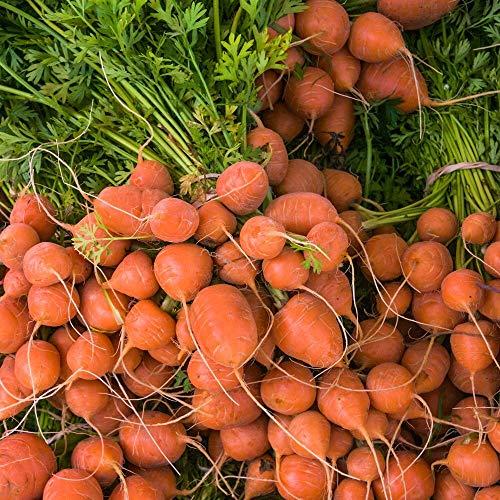 ca. 1500 Samen Karotte Parijse Markt 4 - runde bis plattrunde Sorte, frühreifend