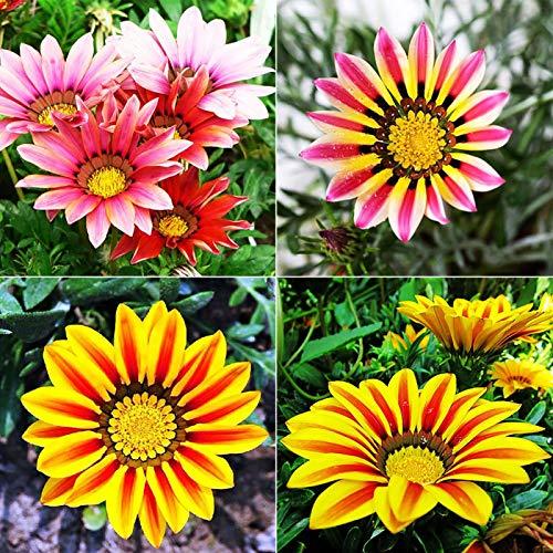 Gazania Rigens Samen, Blumensamen zum...