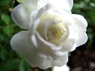 Best bride rose bush Reviews