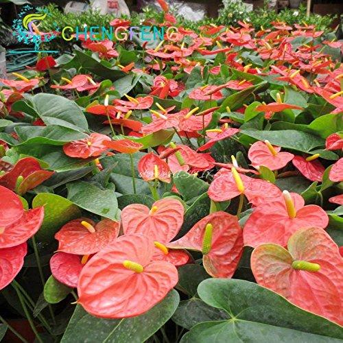 Plum: fleurs rares Graines colorées Anthurium Andraeanu Graines Graines de fleurs Balcon pot pour bricoler jardin 100Pcs