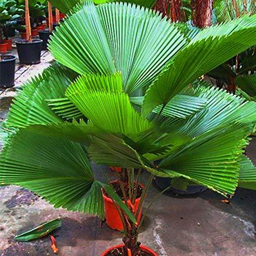 TENGGO Egrow 20 Teile/Paket Fan Palme Samen Zier Livistona Chinensis Pflanzen Hohe Immergrüne Palme