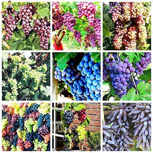 YOUPANGPANG 50 unids/bolsa de uva Bonsai miniatura uva Vine Bonsai fruta orgánica bonsai plantas suculentas alimentos dulces fácil de cultivar planta para Gard