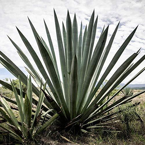 San Cosme Mezcal blanco - 6