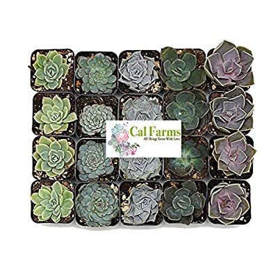 CAL Farms Rosettes Succulents (Pack) - for Weddings, Private Parties, Gifts, and Special Events