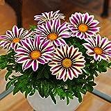gerbera seeds, gerbera daisy flower seed, piante facil da coltivare fiori ornamentali balcone decorazione del giardino daisy seeds 100pcs