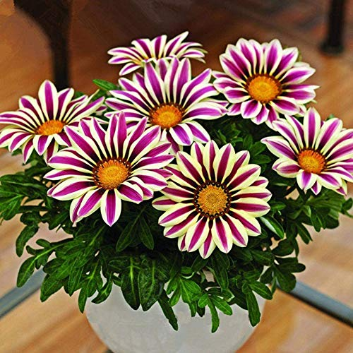 Loveablely Gerbera Seed 100 Kapseln/Packung Outdoor Home Plant Blumen Samen