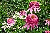 Raras semillas de la herencia Blanco Rojo Rosa flor de Bush, Paquete Profesional, 50 semillas / paquete, fuerte fragante jardín de flores KK105