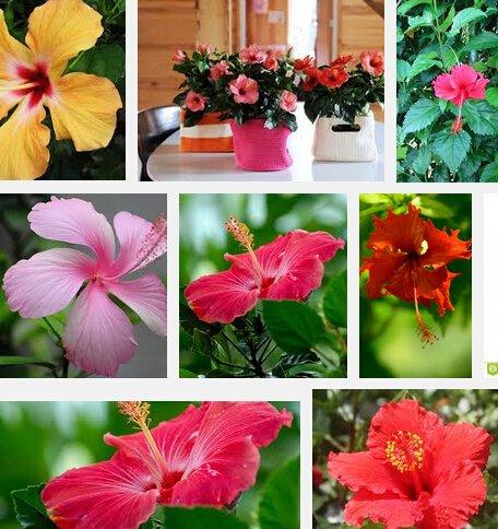 Jardin des plantes 200 bonsaï Hibiscus Fleur Graines Hardy, Mix couleur, bricolage jardin en pot ou dans la cour fleur plante, livraison gratuite Bonsa