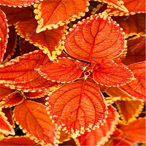 GETSO 120 Pcs Bonsai Arc-en-Coleus Fleur Plantes Beau Feuillage Couleur Parfait Dragon Balcon Begonia Bonsai Facile à cultiver Accueil: 5 DIY