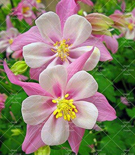 100PCS Double Aquilegia (Columbine) Graines rares Bonsai Graines de fleurs à long Bloom saison plantes vivaces pour jardin 10