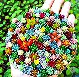 Tomasa Samenhaus- 100 Stücke Mixed Sukkulenten Samen Seltene Lebende Steine Pflanzen Kaktus DIY Hausgarten,Anti-Radiation fleischigen Samen