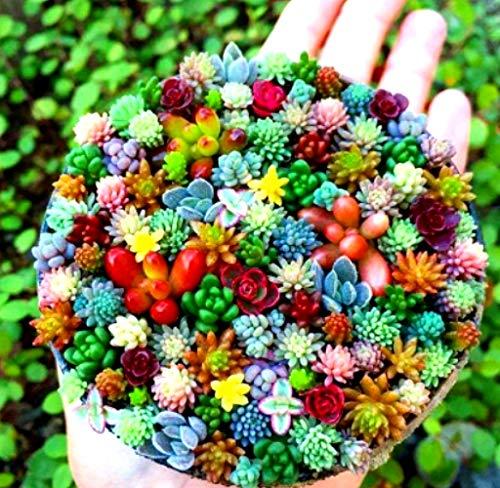 Beautytalk-Garten echte Sukkulenten Mischung fleischigen Samen Bio Topf Blumensamen Mix winterhart mehrjährig Selten Zimmerpflanzen für Balkon/Terrasse/Garten