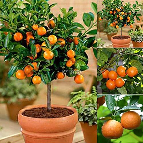Yukio Samenhaus - Mandarinenbaum (Citrus reticulata) Obstsamen Bonsai Samen winterharte Sorte Fruchtpflanzen Samen Orangenbaum (50 Samen)