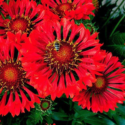 AIMADO Samen-50 Pcs Kokardenblume Tizzy Ein Gänseblümchen samen, Echter Hingucker Blumensamen mehrjährig winterhart Bonsai samen geeignet für Terrasse und Balkon