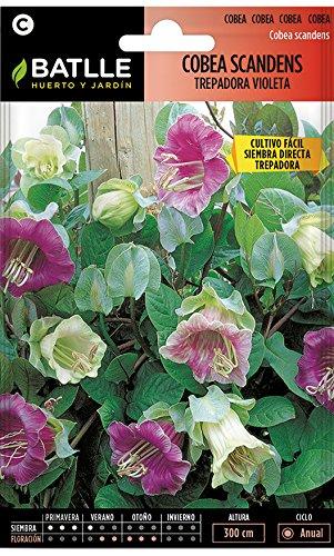 Semillas de Flores - Cobea Scandens trepadora violeta - Batlle