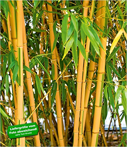 BALDUR Garten Goldener Peking Bambus, 1 Pflanze Phyllostachys aureosulcata aureocaulis winterhart und immergrün golden gefurchte Bambuspflanze