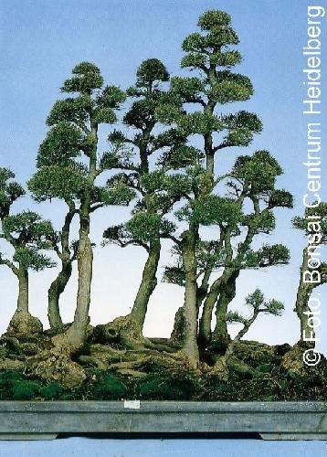 Tropica - Bonsai - Australische Kiefer (Casuarina equisetifolia) - 200 Samen