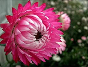 Pink Double Strawflower Helichrysum Bracteatum Flower Seeds 100 Seeds SVU20