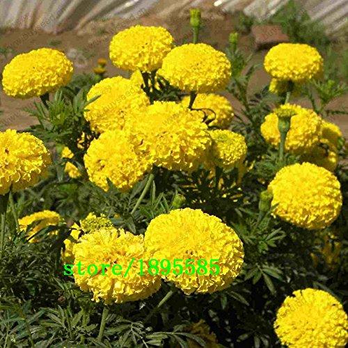 couleur des graines de Marigold varié intérieur en pot rose graines de marguerite rose huit sortes de couleurs à choisir 200 particules / sac