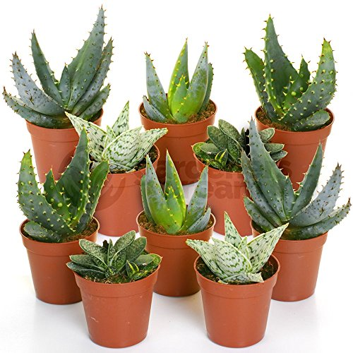 Aloe Vera Mix - 10 Plants - House/Office Live Indoor Pot Plant - Ideal Gift