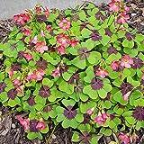 Bulbes de fleurs de haute qualité pour la floraison PRINTEMPS - ÉTÉ - AUTOMNE (30, Oxalis IRON CROSS (Quatrefoil))