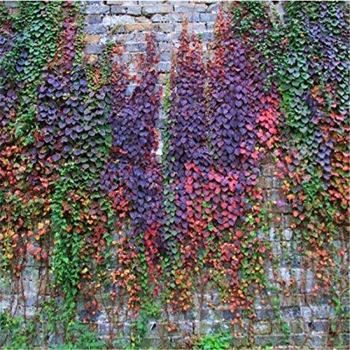 Lot de 500 graines de lierre vert Boston pour bricolage, maison, jardin, plantes extérieures, arbres, 4 couleurs