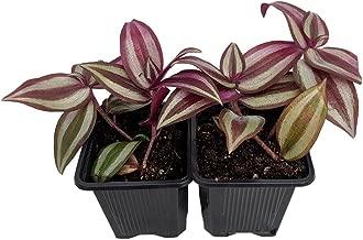 Purple Wandering Jew - 2- Plants - 3