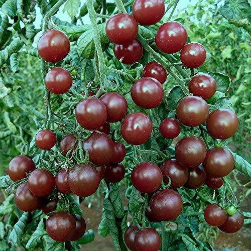 Qulista Samenhaus - Rarität 100pcs BIO Schokoladen-Tomaten Kakao, veredelt schwarzbraune Stab-Tomate Gemüsesamen winterhart mehrjärhig für Freiland und Gewächshaus